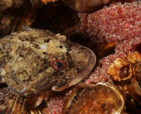 Zeedonderpad | Dennis Barendse | © Onderwaterbeelden.nl