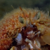 Hermit crab and rough hydroid benefit from each other