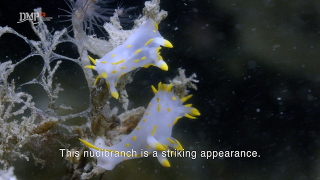Harlequin nudibranch is a beautiful deceiver