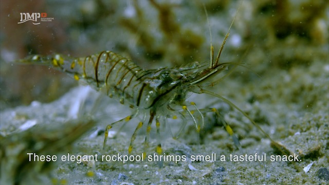 Rockpool shrimps are waiting patiently