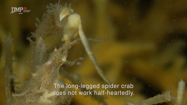 The long-legged spider crab is a master of disguise