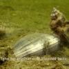 Killer snails in the Dutch Delta