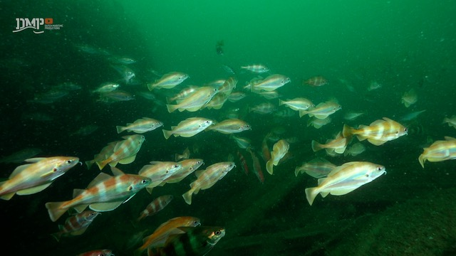 Pout whiting survive together - Safety in numbers
