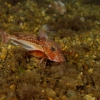 Gurnard eats his belly full