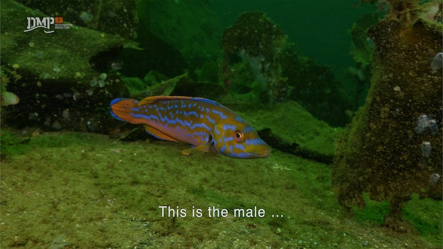 Harem of the wrasse